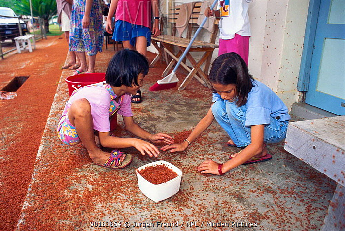 Children collect baby Christmas island red crabs to release in the forest (Gecarcoidea natalis) Young crabs migrate from sea to forest after one month  -  Jurgen Freund/ npl