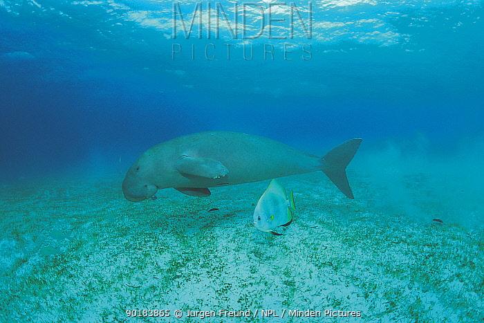 Dugong swimming (Dugong dugon) Indo Pacific  -  Jurgen Freund/ npl