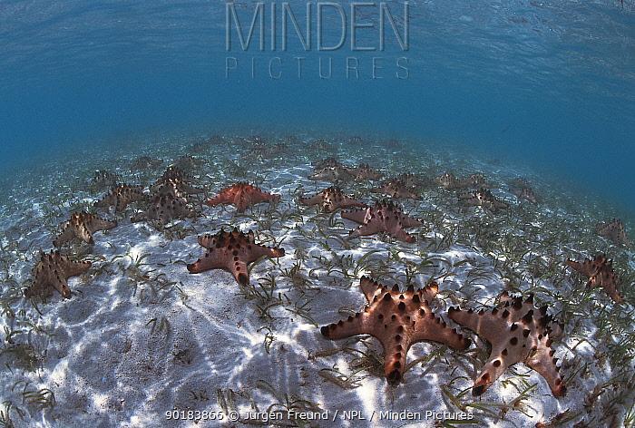 Sea stars on seafloor (Protoreaster nodosus) Indo Pacific  -  Jurgen Freund/ npl