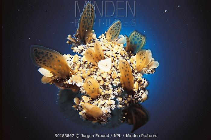 Jellyfish (Cassiopea sp) Indo Pacific  -  Jurgen Freund/ npl