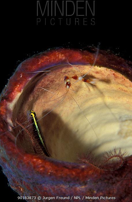 Cleaner shrimp (Periclimenes sp) and Goby in tube sponge Cuba  -  Jurgen Freund/ npl