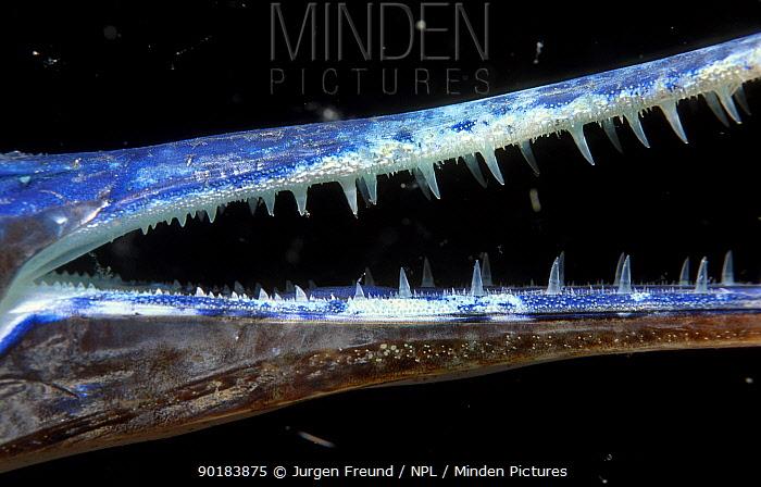 Close-up of jaw of Garfish (Belone belone) Indo-pacific  -  Jurgen Freund/ npl