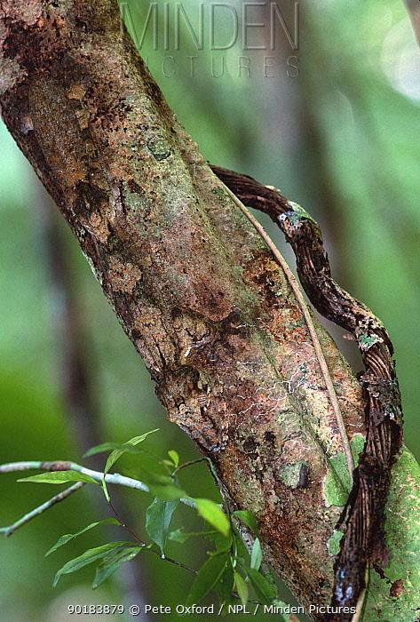 Leaf tailed gecko well camouflaged (Uroplatus fimbriatus) Madagascar  -  Pete Oxford/ npl