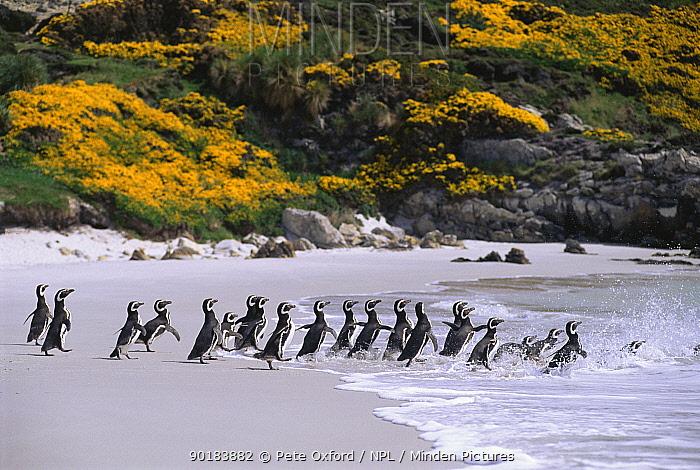 Magellanic penguins going to the sea (Spheniscus magellani) Falkland Islands  -  Pete Oxford/ npl