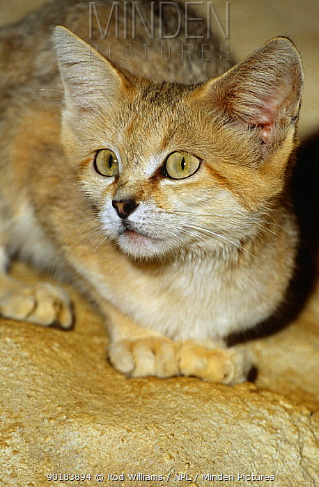 Female Sand cat portrait (Felis margarita harrisoni) captive, found in Saudi Arabia  -  Rod Williams/ npl