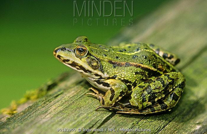 European edible frog (Rana esculenta) Germany  -  Ingo Arndt/ npl