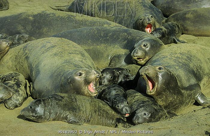Northern elephant seal (Mirounga angustirostris) group with young on beach, Ano Neuvo State Park, California, USA  -  Ingo Arndt/ npl