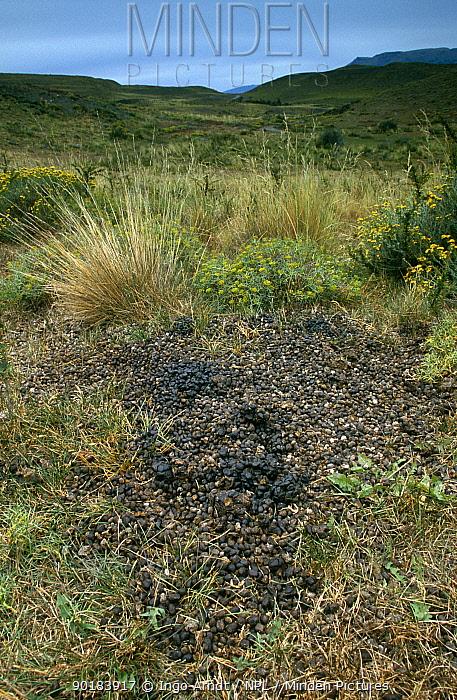 Guanaco faecal pellets at midden (Lama guanicoe) Torres del Paine NP, Patagonia, Chile  -  Ingo Arndt/ npl