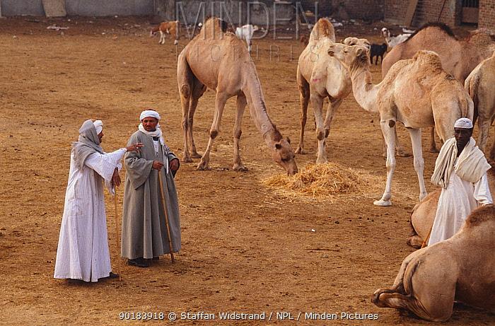 Camel buyers at market, Cairo, Egypt  -  Staffan Widstrand/ npl