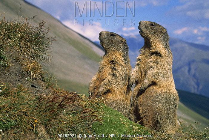 Alpine marmots on look out (Marmota marmota) Hohe Tauern NP, Austria  -  Ingo Arndt/ npl