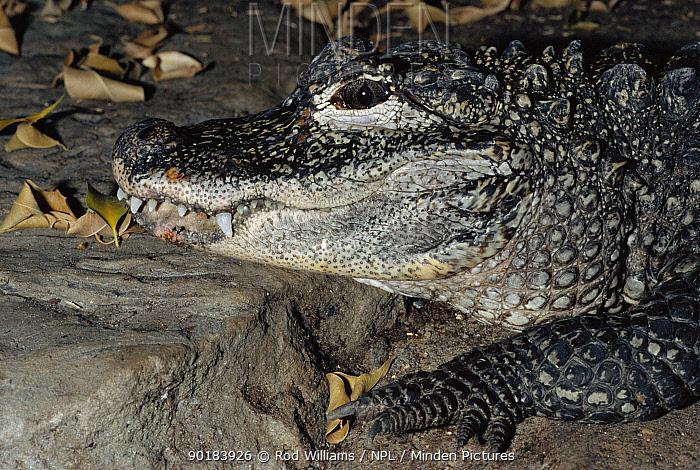 Chinese alligator head portrait (Alligator sinensis) occurs River Yangtze, China Critically endangered species  -  Rod Williams/ npl
