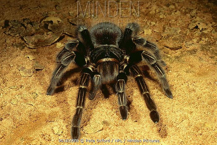Tarantula portrait (Theraphosidae) Noel Kempff Mercado NP, Bolivia  -  Pete Oxford/ npl
