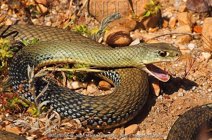 Montpellier snake (Malpolon monspessulanus) Spain  -  Juan Manuel Borrero/ npl