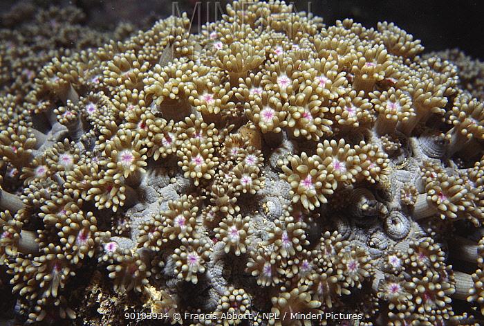 Daisy coral, Yap Islands, Palau, Micronesia  -  Francis Abbott/ npl