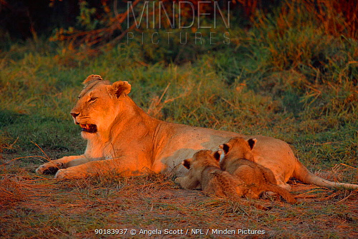 Two Marsh lion cubs suckling (Panthera leo) Masai Mara NR, Kenya, East Africa  -  Angela Scott/ npl