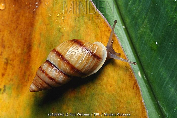 Moorean viviparous tree snail (Partula suturalis) extinct in Moorea  -  Rod Williams/ npl
