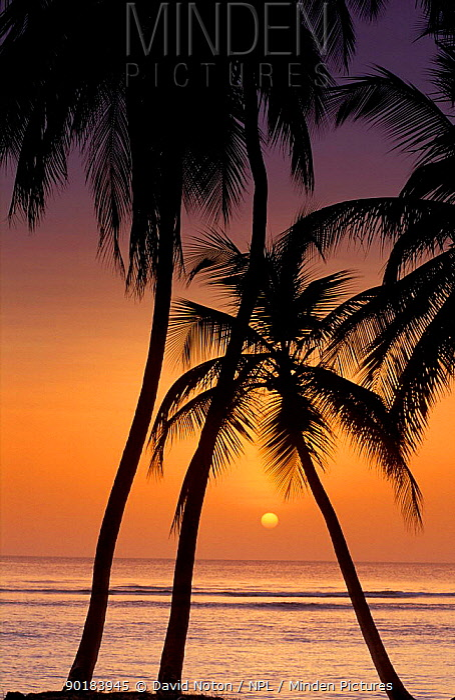 Sunset beneath palm trees, Pigeon Point, Tobago, Caribbean  -  David Noton/ npl
