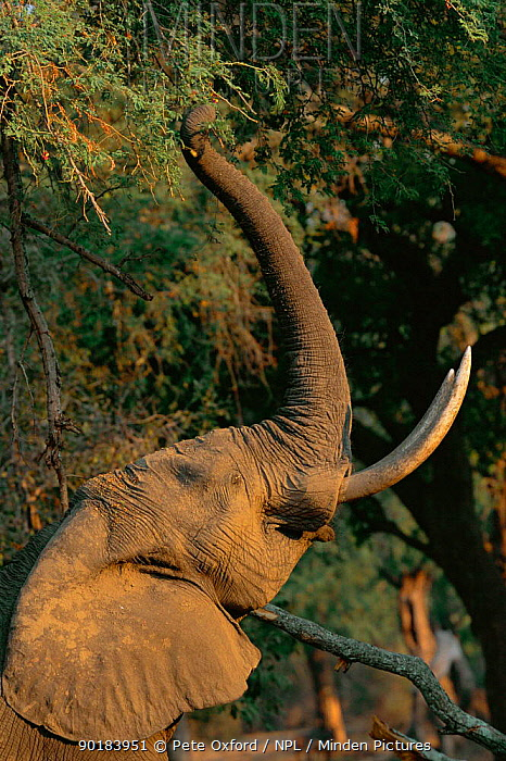 African elephant reaching upo with trunk to feed on seed pods Manu pools NP, Zimbabwe (Loxidonta africana)  -  Pete Oxford/ npl