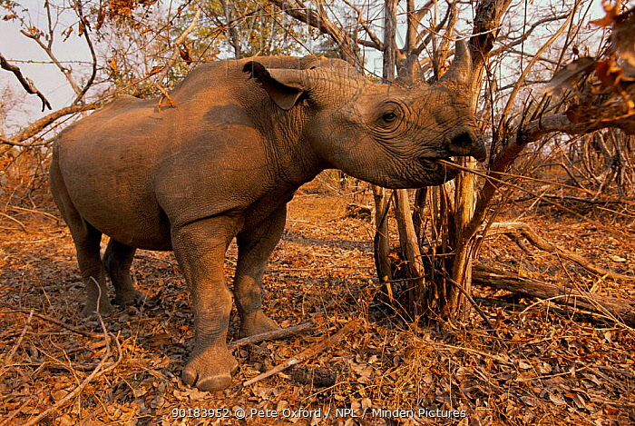 Black rhino feeding (Diceros bicornis) Matusadona NP, Zimbabwe  -  Pete Oxford/ npl