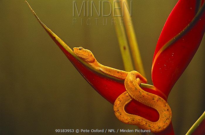Eyelash viper (Bothrops schlegeli) on Heliconia, Esmeraldas, Ecuador  -  Pete Oxford/ npl
