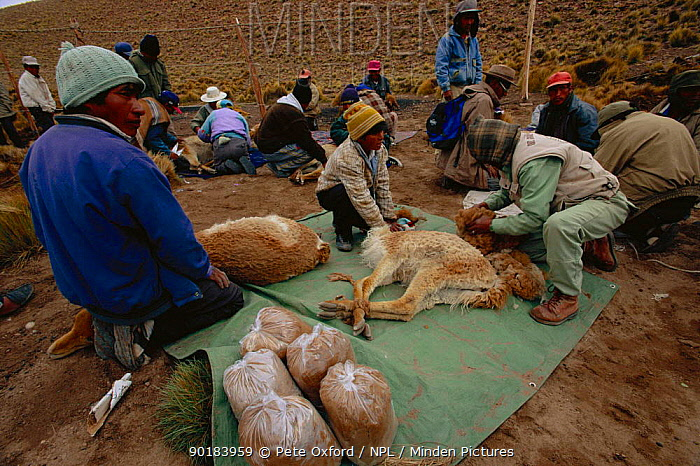 People shearing wild Vicuna for their wool (Lama vicugna) SW Bolivia, South America, to benefit Guadalupe community Dept Potosi  -  Pete Oxford/ npl