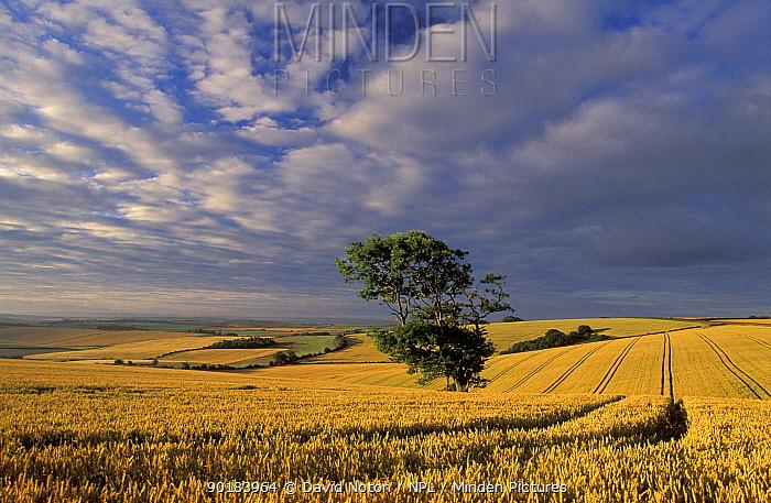 Arable field landscape, near Dorchester, Dorset, UK  -  David Noton/ npl