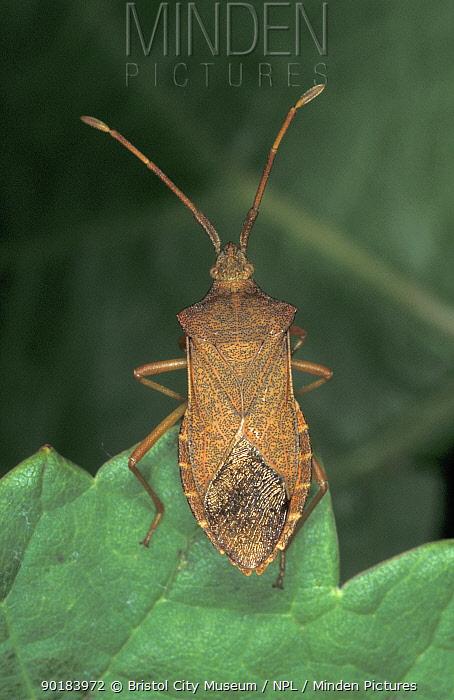 Boxbug (Conocerus acuteangulatus) England  -  Martin Evans/ BCM/ npl