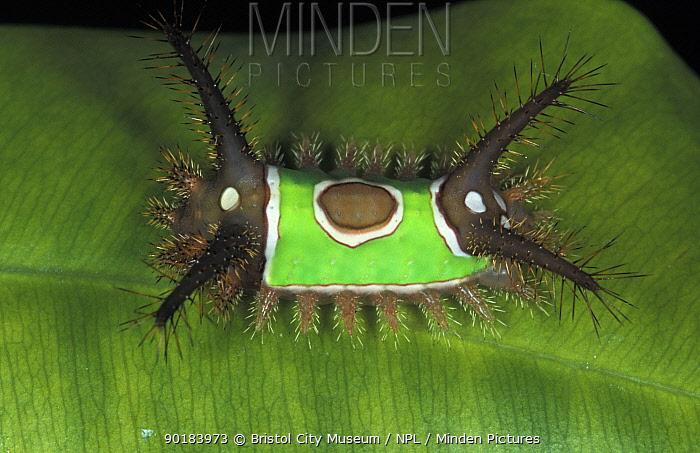 Saddleback moth caterpillar (Acharia, Sibine sp)  -  Bristol City Museum/ npl