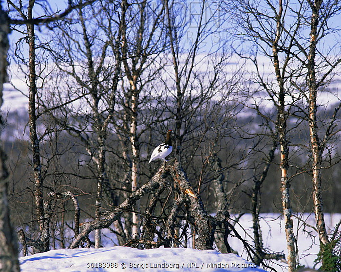 Willow grouse (Lagopus lagopus) on fallen trunk in snow, Sweden  -  Bengt Lundberg/ npl