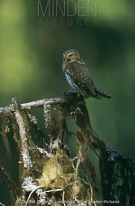 Pygmy Owl (Glaucidium passerinum) in old spruce forest, Sweden  -  Bengt Lundberg/ npl