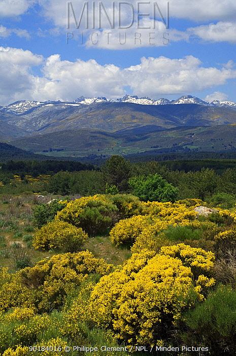 Landscape dotted with Spanish broom (Spartium junceum) Sierra de Gredos, Spain  -  Philippe Clement/ npl