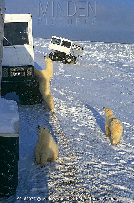 Polar bears (Ursus maritimus) following Tundra Buggies, Cape Churchill, Manitoba, Canada  -  Mark Payne-Gill/ npl