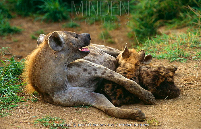 Spotted hyaena (Crocuta crocuta) with suckling cubs, South Africa  -  Ron O'Connor/ npl