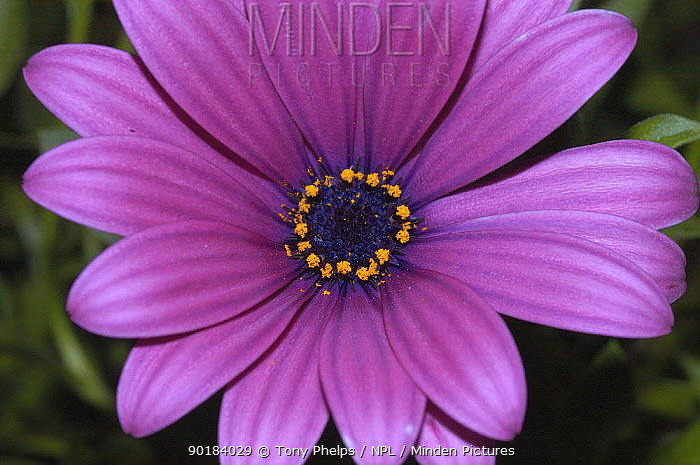 Cape daisy flower (Dimorphotheca sp) Nr Oudtshoorn, Little Karoo, South Africa,  -  Tony Phelps/ npl