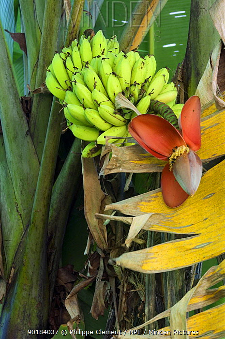 Banana Tree (Musacea sp) with fruit and flowers, Carara NP, Costa Rica  -  Philippe Clement/ npl
