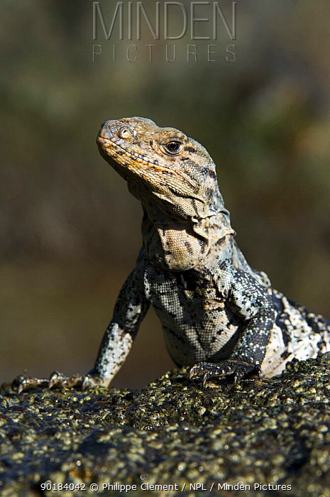 Spiny, Black iguana, Black ctenosaur (Ctenosaura similis) on beach, Manuel Antonio NP, Costa Rica  -  Philippe Clement/ npl