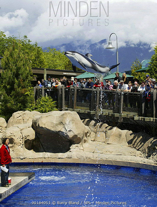 Pacific white-sided dolphin (Lagenorhynchus obliquidens) leaping during performance at Vancouver Aquarium, Canada  -  Barry Bland/ npl