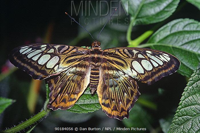 Clipper butterfly (Parthenos sylvia) captive, from SE Asia  -  Dan Burton/ npl