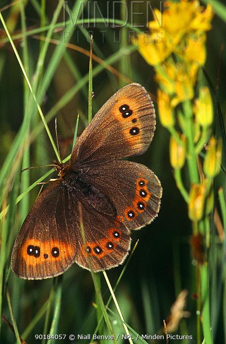 Scotch argus butterfly (Erebia aethiops) female, UK  -  Niall Benvie/ npl