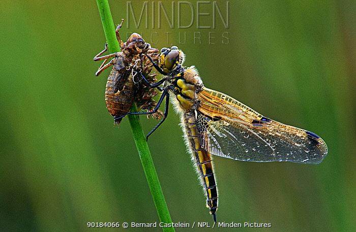 Four spotted libellula dragonfly (Libellula quadrimaculata) recently emerged from larva, Belgium  -  Bernard Castelein/ npl