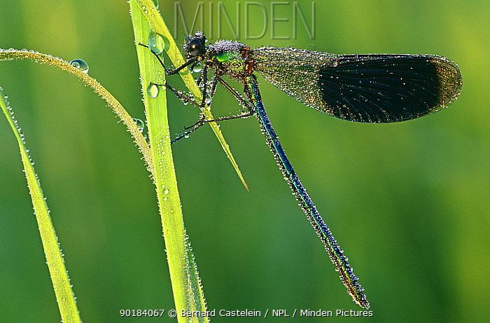 Banded demoiselle (Calopteryx splendens) with morning dew, France  -  Bernard Castelein/ npl