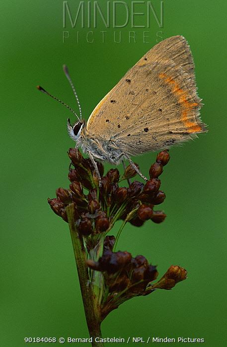 Small copper butterfly (Lycaena phlaeas) Belgium  -  Bernard Castelein/ npl