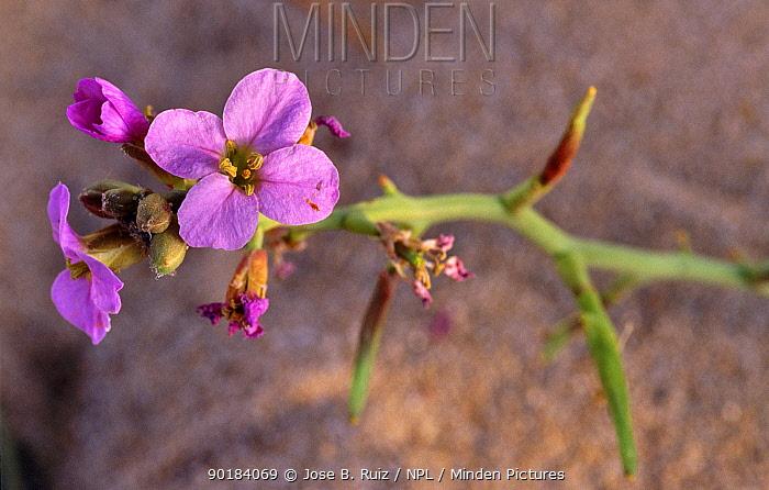 Sea rocket (Cakile maritima) flowering on sand dune, Alicante, Spain  -  Jose B. Ruiz/ npl
