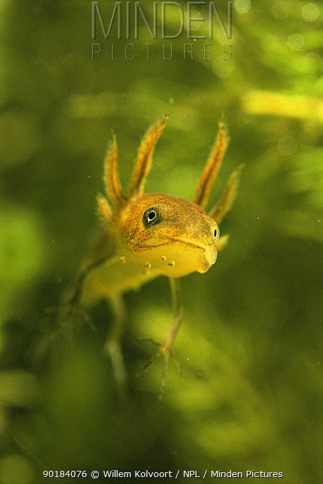 Great crested newt larva (Triturus cristatus) Holland  -  Willem Kolvoort/ npl
