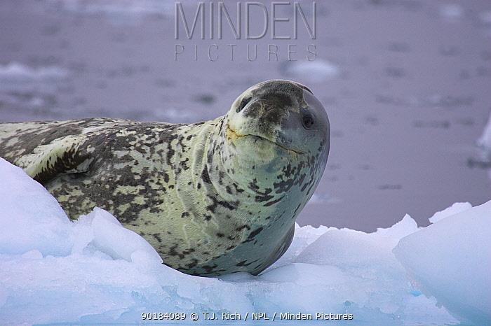 Leopard seal on icefloe (Hydruga leptonyx) Antarctica  -  T.J. Rich/ npl
