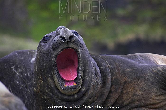 Southern Elephant seal (Mirounga leonina) vocalising, South Georgia  -  T.J. Rich/ npl