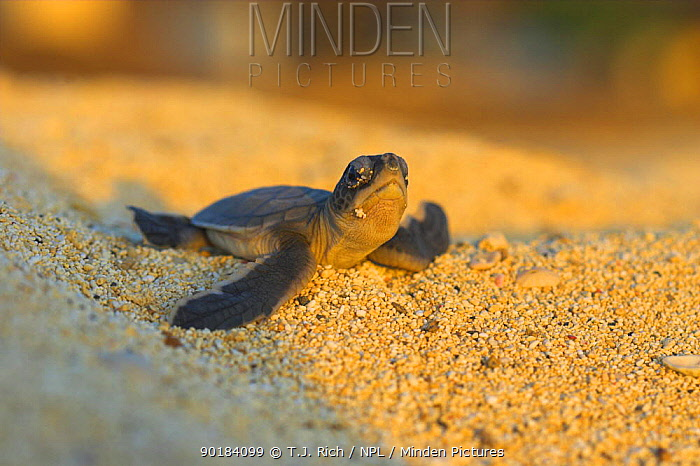 Green Turtle hatchling emerging from nest (Chelonia mydas) Ascension Island  -  T.J. Rich/ npl