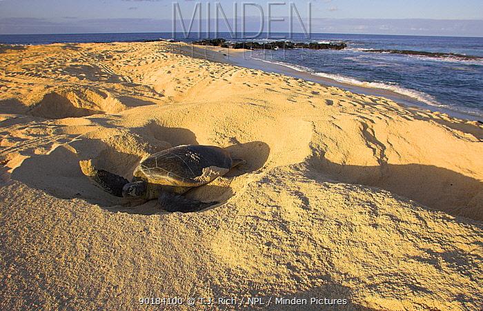 Green Turtle female digging nest hole (Chelonia mydas) Ascension Island  -  T.J. Rich/ npl