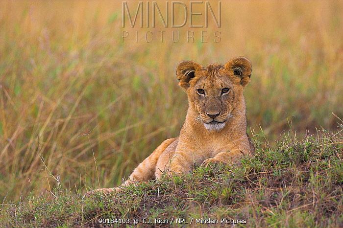African Lion cub (Panthera leo) Masai Mara National Reserve, Kenya  -  T.J. Rich/ npl