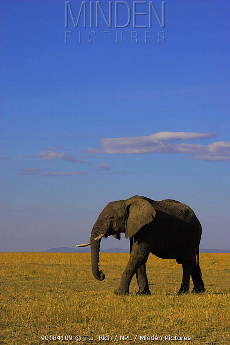 Bull African elephant walking across savanna (Loxodonta africana) Masai Mara National Reserve, Kenya  -  T.J. Rich/ npl